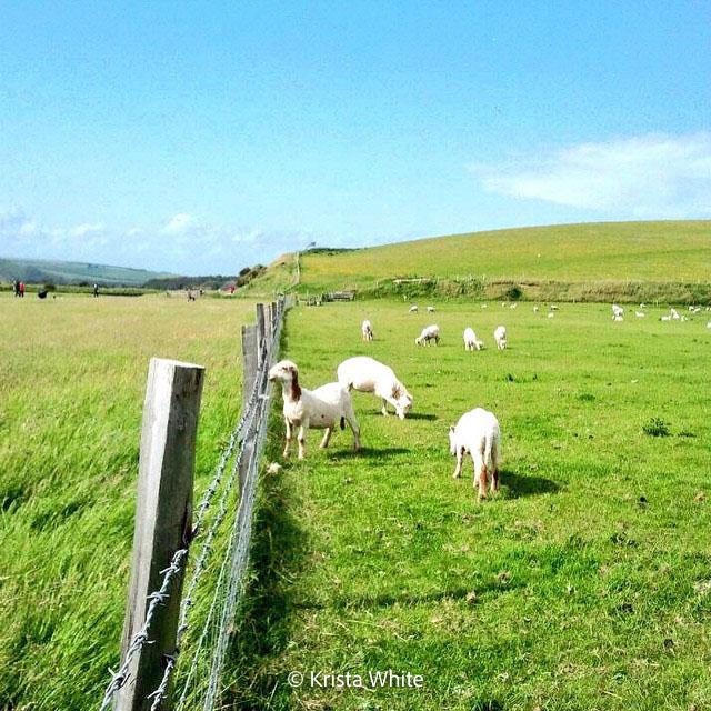 Lambs in Surrey